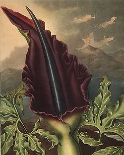 http://upload.wikimedia.org/wikipedia/commons/thumb/2/24/Dracunculus_vulgaris00.jpg/250px-Dracunculus_vulgaris00.jpg