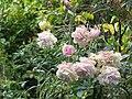 Drooping Pink Roses II.jpg