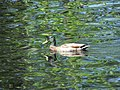 Ducks in Penobscot River image 4.jpg