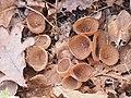 Dumontinia tuberosa1.jpg