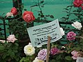 Dwarf Rose from Lalbagh flower show Aug 2013 8492.JPG