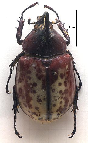 alt=Description de l'image Dynastes.hyllus.jpg.