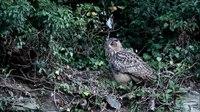 File:Eagle Owl- chicks and adult bird - Uhu- Jungvögel und Elterntier.webm