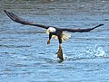 Eagles conowingo (17868906416).jpg