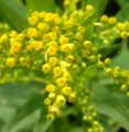 Early Goldenrod Flowers (9325858305).png