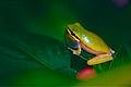 Eastern Dwarf Tree Frog (Litoria fallax) (9935629186).jpg