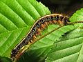 Eastern Tent Caterpillar (14293571436).jpg