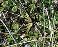 Eastern Tiger Swallowtail (Papilio glaucus) (6932564220).jpg