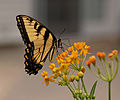 Eastern Tiger Swallowtail Papilio glaucus on Asclepias curassavica 'Silky Gold'.jpg