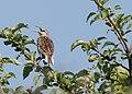 Eastern meadowlark (2635606029).jpg