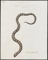 Echidna semifasciata - 1734-1765 - Print - Iconographia Zoologica - Special Collections University of Amsterdam - UBA01 IZ12000185.tif