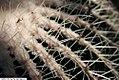 Echinocactus grusonii 10zz.jpg