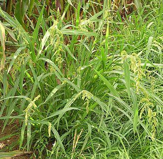 Paniceae - Image: Echinochloa crus galli 2006.08.27 14.59.37 p 8270051