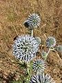 Echinops sphaerocephalus sl20.jpg