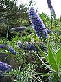 Echium candicans03.jpg