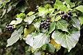 Efeu-Früchte.jpg