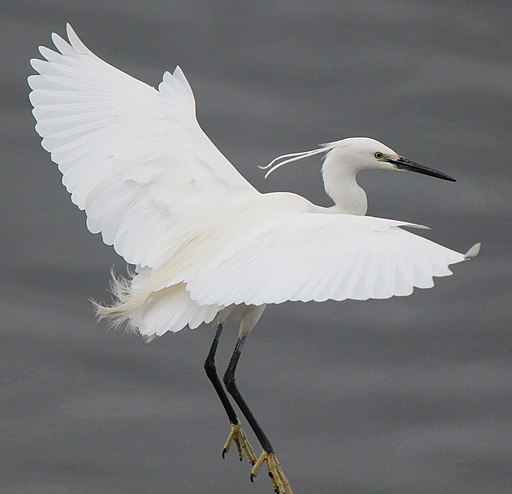 Egretta garzetta in flight s3