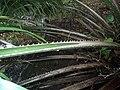 Elaeis oleifera (rachis).jpg