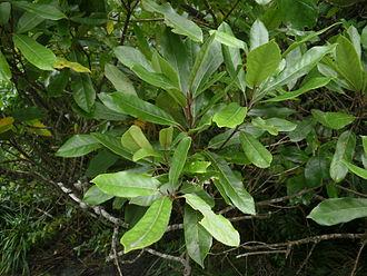 Elaeocarpus - Elaeocarpus dentatus foliage