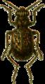 Elaphrus cupreus Jacobson.png
