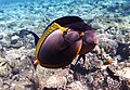 Elegant unicornfish und Acanthurus sohal.DSCF9410ВЕ.jpg