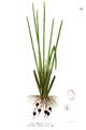 Eleocharis dulcis Blanco1.15.png