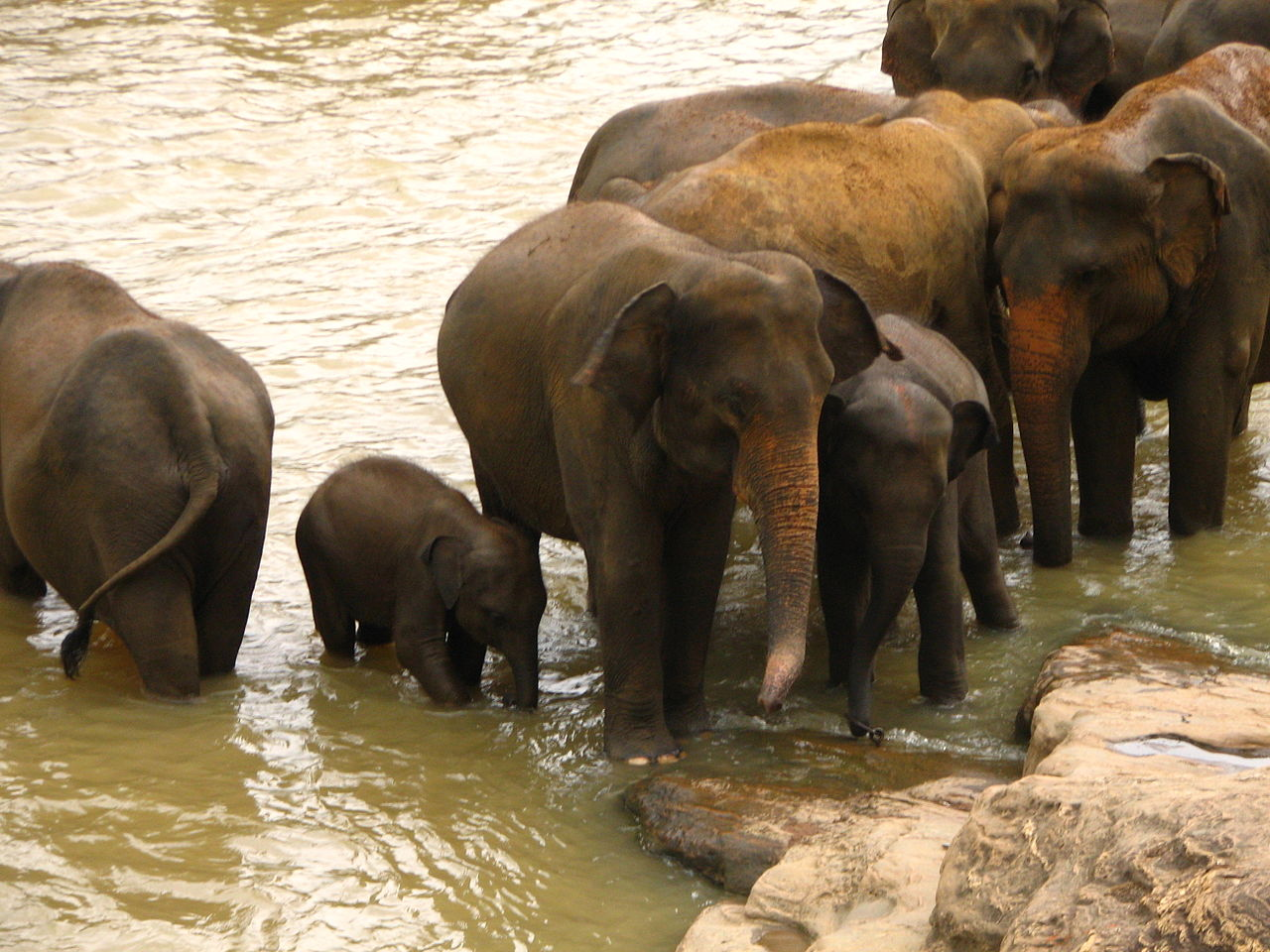 fileelephant orphanage near kandy sri lankajpg wikipedia