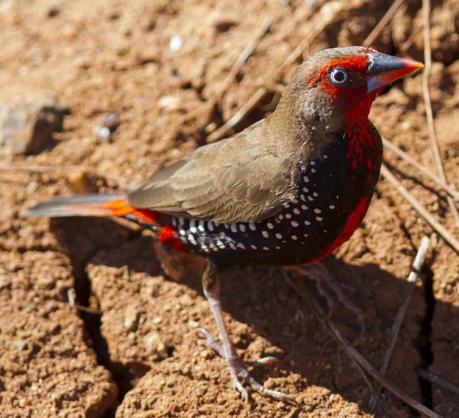 File:Emblema pictum -Karratha, Pilbara, Western Australia, Australia-8 (5).jpg