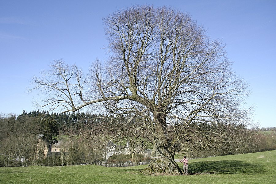 Large-Lieved Linden (Tilia platyphyllos)