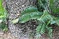 Encephalartos gratus 3zz.jpg
