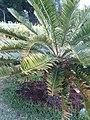 Encephalartos lebomboensis KirstenboshBotGard09292010E.JPG
