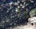 Encroutement algal et ou bactérien sur plantes aquatiques aout 2016 Sèvre niortaise F.Lamiot 09.jpg