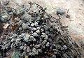 Encroutement algal ou bactérien sur restes de fil de pêche dans la Sèvre niortaise photo F Lamiot 02.jpg