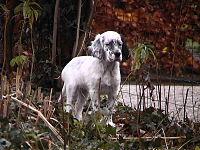 Engelse setter pup.JPG