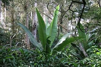 Lotusland - Abyssinian Banana (Ensete ventricosum) at Lotusland