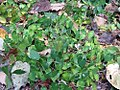 Epimedium diphyllum 0zz.jpg