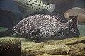 Epinephelus multinotatus 2566.jpg