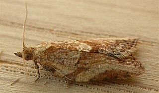 Light brown apple moth controversy