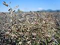 Eragrostis minor (6124337786).jpg
