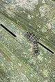 Erebidae (35265098585).jpg