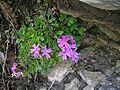 Erinus alpinus.JPG
