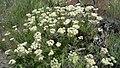 Eriogonum heracleoides var. leucophaeum 2.jpg