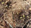 Eriogonum inflatum flower branch.jpg