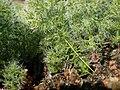 Eriospermum paradoxum Gifberg 02.jpg