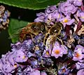 Eristalis males - tenax ^ arbustorum - Flickr - S. Rae.jpg