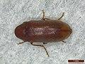 Ernobius mollis (43130097291).jpg