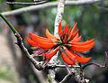 Erythrina stricta flower.jpg
