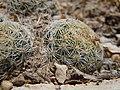 Escobaria missouriensis (5062664299).jpg
