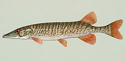 Redfin pickerel, E. americanus americanus