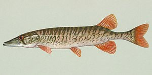 American pickerel - Redfin pickerel, E. americanus americanus
